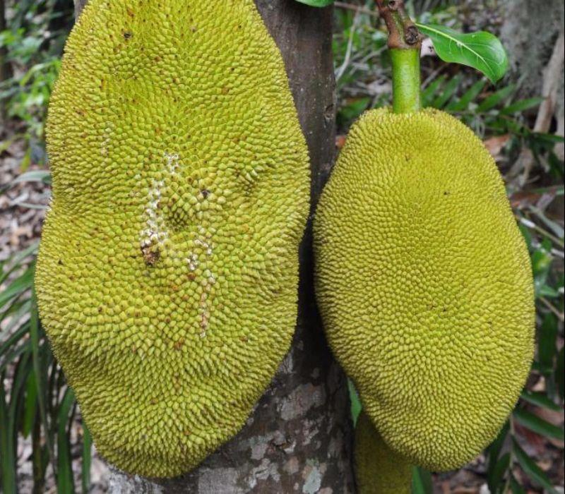 Jackfrucht – natürliche Süßigkeit & Fleischersatz