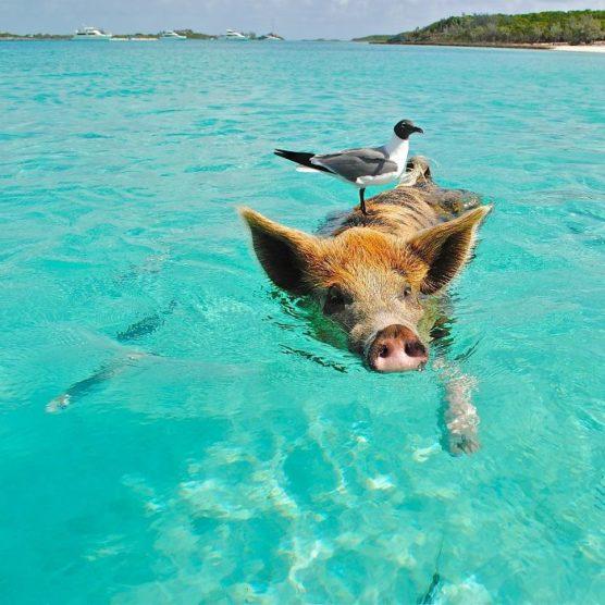 Bahamas: Fischi Fisch & schwimmende Schweine